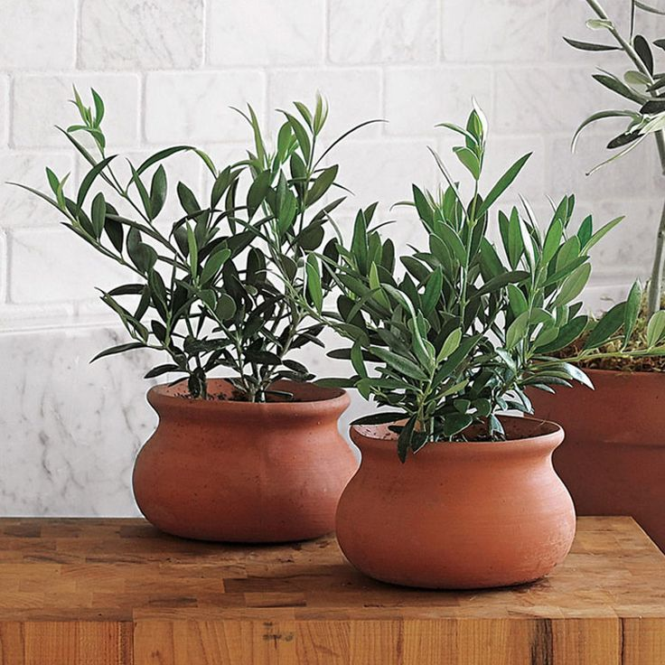 These Mini European olive trees serves as inspiration for sub tropical indoor plants such as Weber blue agave.  I love the terracotta pots.