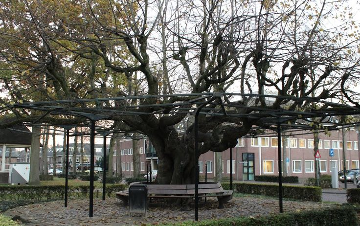Linden tree (more then 1000 years old). The Netherlands • North Brabant Oisterwijk