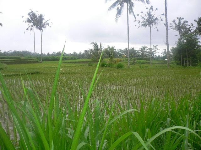 Rice Paddies, Bali ,Indonesia