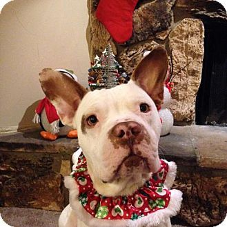 Pictures of Finnigan - Courtesy Post a Pit Bull Terrier/French Bulldog Mix for adoption in Dallas, GA who needs a loving home.