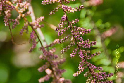 Tamariska virágzás: április-május
