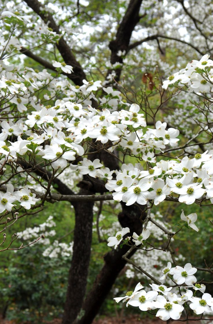Beautiful white dogwood tree in backyard