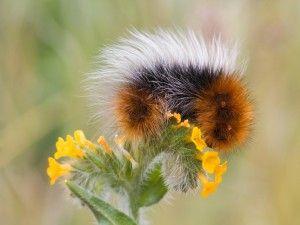 Oruga peluda en una flor amarilla