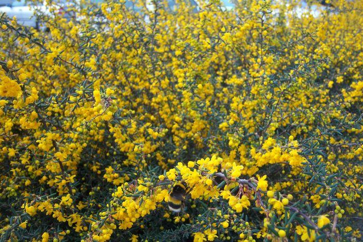 32 best images about arbustes soleil mi ombre on pinterest prunus bristol and shrubs - Taille des rosiers apres floraison ...