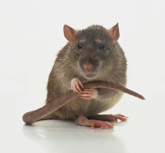 NOM: Meet Rot's counterpart in the book... a rat named Nom.   (Photo pinned from vetmed.duhs.duke.edu)