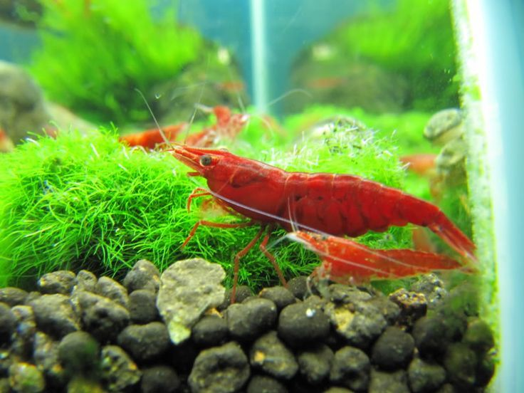 Grading System Of Cherry To Fire Red Shrimps Red Cherry Shrimp Cherry Shrimp Tropical Freshwater Fish