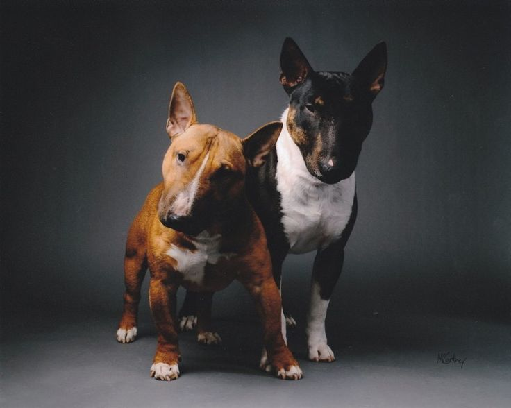 Miniature Bull Terrier Club of America