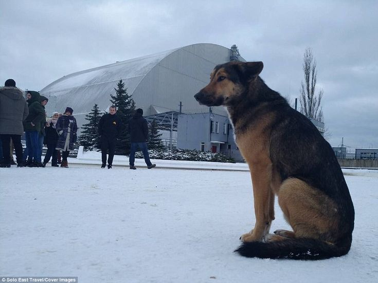 A stray dog sits outside the sarcophagus built to contain the remains of the No. 4 reactor unit at the Chernobyl Nuclear Power Plant near Pripyat