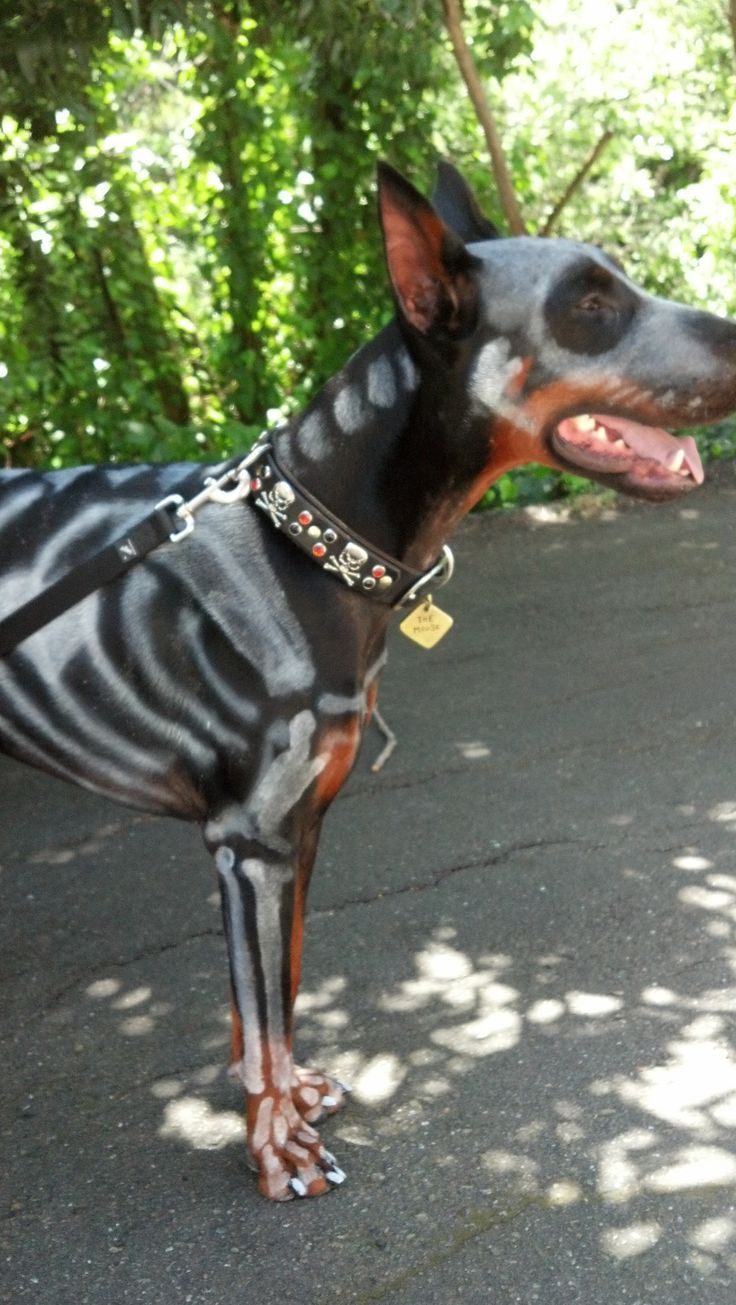 Creative grooming Doberman Groomed as a Skeleton