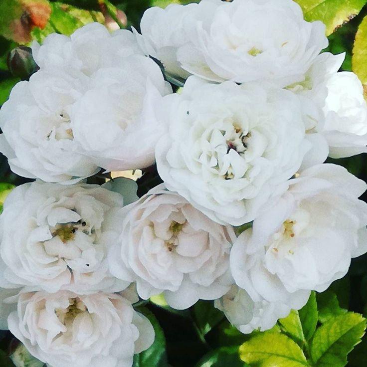 Ponownie piękne róże.  #lato #kwiaty #dianapozytywnie