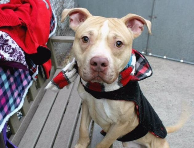 """GARBANZO - A1100908 - - Manhattan  TO BE DESTROYED 01/10/17 A volunteer writes: """"My little jumping bean."""" That's what I say to myself through a grin as little Garbanzo hops into my lap and asks for more cuddles. Roughly the size of a chickpea, this 48 lb. dynamo lured me right in with his calm kennel presence and oh-so-sad, puppy eyes. But lest you be fooled like me, I'm here to let you know that this beanie baby is anything but sad. He is light and"""