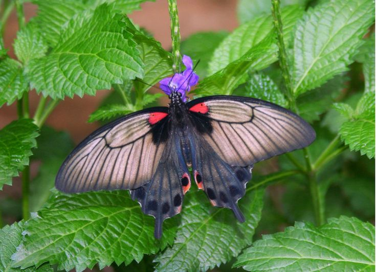 Butterfly on herbs -- if the flowers were yellow I'd say it was Sweet Melissa or Lemon Pledge Plant