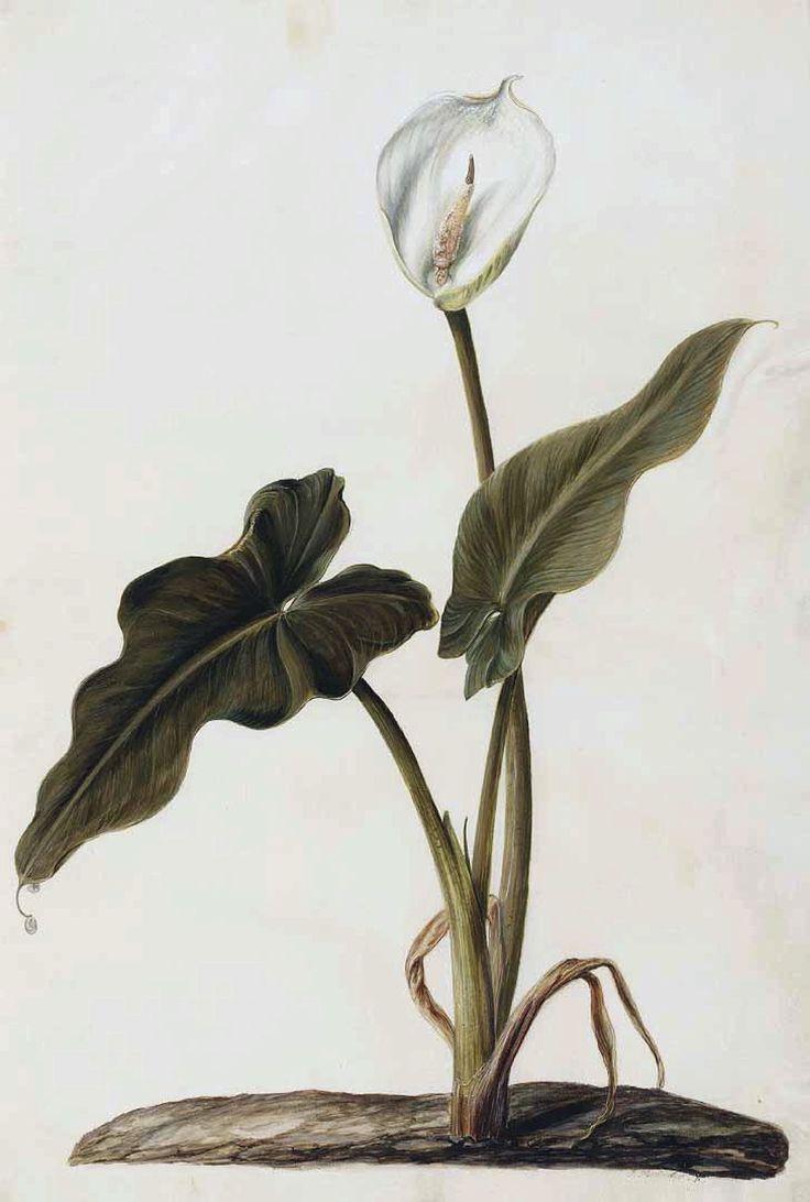Calla lily. Zantedeschia aethiopica. Moninckx atlas, Moninckx, J., vol. 1: t. 5 (1682)