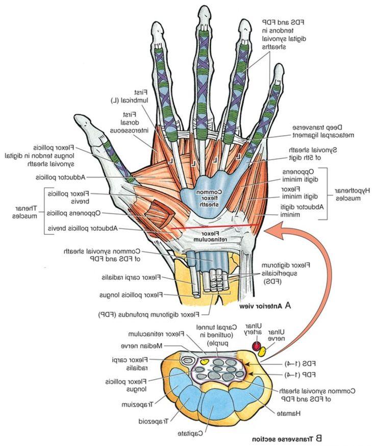 Großartig Studie Tipps Für Anatomie Und Physiologie Ideen ...