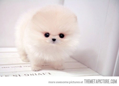 Art Oh good Lord thats cute -- Teacup Pomeranian Puppy funny