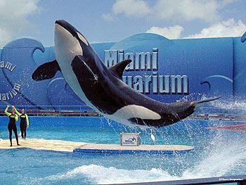 Miami SeaquariumKillers Whales,  Orcinus Orcas,  Grampus, Luxury Villa, Miami Seaquarium,  Sea Wolf,  Killers, Florida Vacations, Sea World