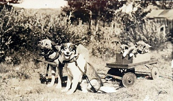 Dogs pulling a cart