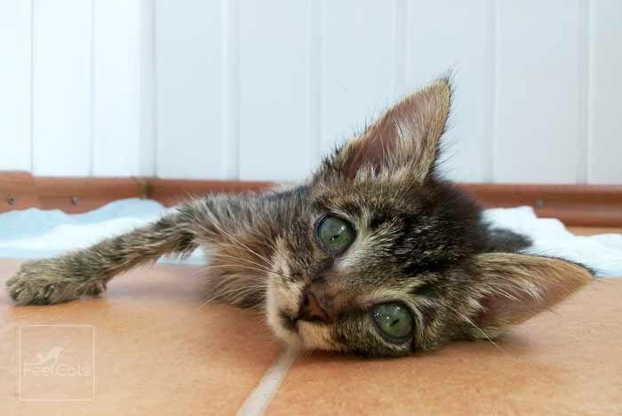 Pin En Cuidados De Un Gato