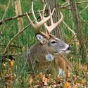 Whitetail Hunting Tips: How to Use Deer Calls, Scents, and Decoys | Outdoor Life