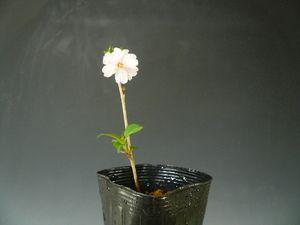 盆栽素材苗木おしどり桜270407-5