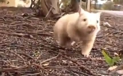 Daily Cute: Seltener, entzückender Wombat in Australien gerettet – Niedlichkeit …   – Adorable Animals