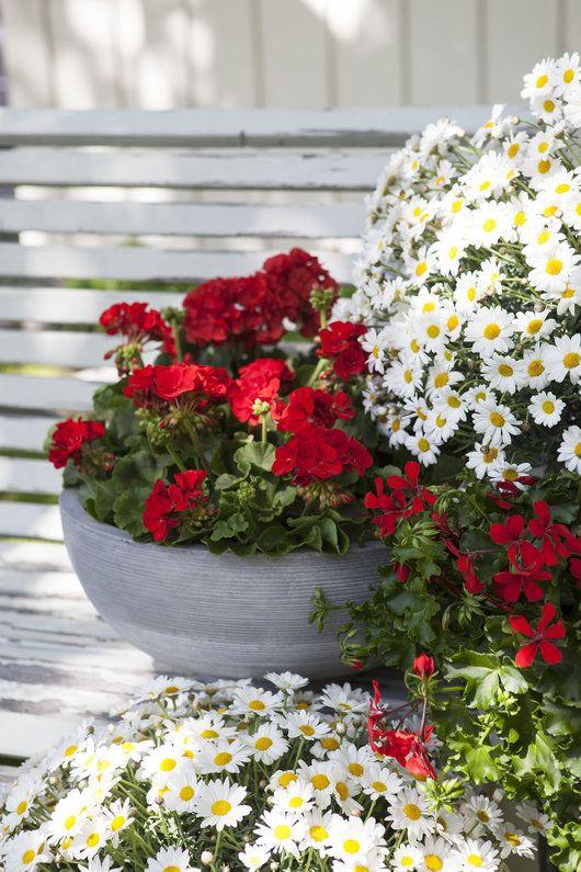 Knall+rød+pelargonia+og+hvite+margeritter+gir+en+fin+17.+maistemning.