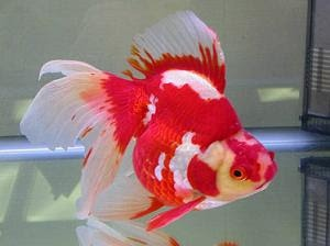Fancy Goldfish like this easily gobble up Hikari Goldfish Wheat-Germ in any weather. www.hikariusa.com/diets/goldfish-wheat-germ