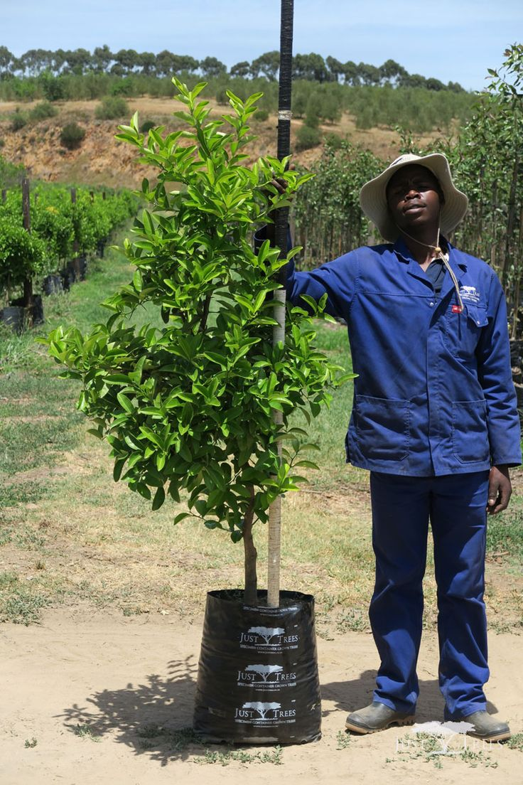 40L Citrus limon. The attractive Cape Rough Lemon Tree is a hardy, evergreen tree. Its thick rind makes it a useful fruit for cooking...