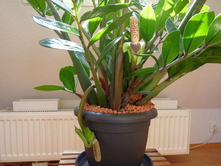 Замиокулькас — долларовое дерево. Уход в домашних условиях. Фото - Ботаничка.ru