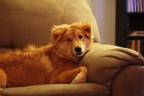 Akita. Rasa pochodząca z Japonii, pierwotnie były do psy myśliwskie i obronne. Dziś to raczej psy rodzinne, ale też tresuje się je do ratowania ludzi. Są to psy uparte, wymagające konsekwentnej tresury, nieufne w stosunku do obcych.