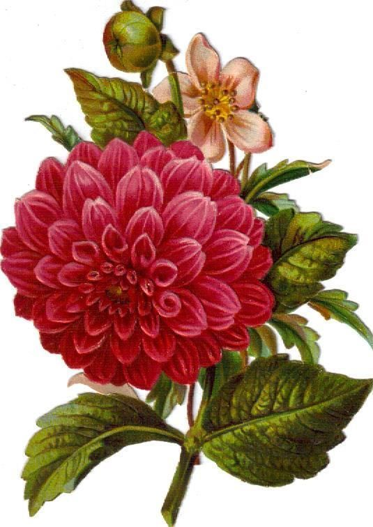 Victorian Scrap Large Pink Camellia Bouquet Die Cut c1880