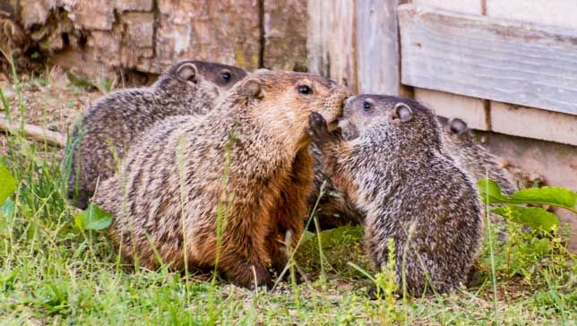 Baby groundhog gives mom a big kiss
