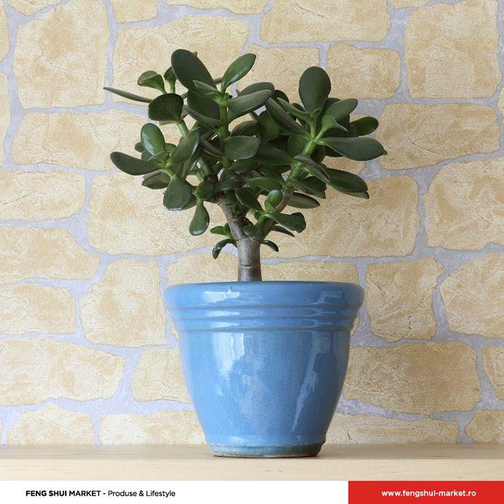 Cunoscută și sub numele de Arborele de Jad, Crassula Ovata este o plantă originară din Africa de Sud, foarte apreciată în tradiția Feng Shui. Aceasta are o durată de viață de peste 50 de ani, fiind renumită pentru puterea de a reîncărca energetic oamenii. De asemenea, este recunoscută și pentru efectele benefice asupra sporirii norocului și prosperității celor care o au în casă.