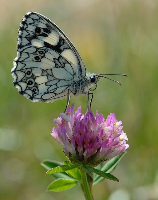 amazing black and white: Beautiful Butterflies, White Patterns, Black And White, Black White, A Tattoo, Amazing Black, White Butterflies, Blue And White, Stained Glasses