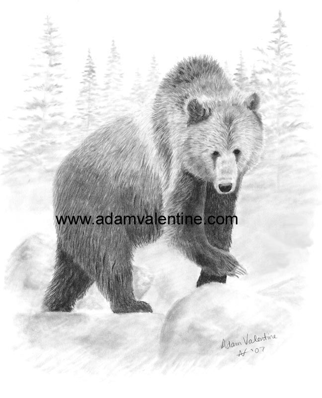 Pencil+Drawings+Of+Bears | Grizzly Bear Pencil Drawings Pictures