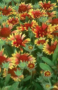 Great Pictorial Perennial Flower Guide -- Love Perennials. Little work and are