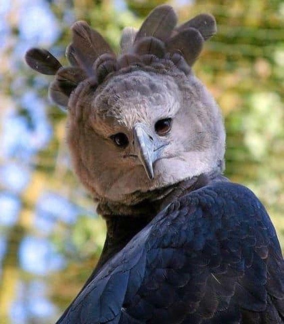 Image result for harpy eagle