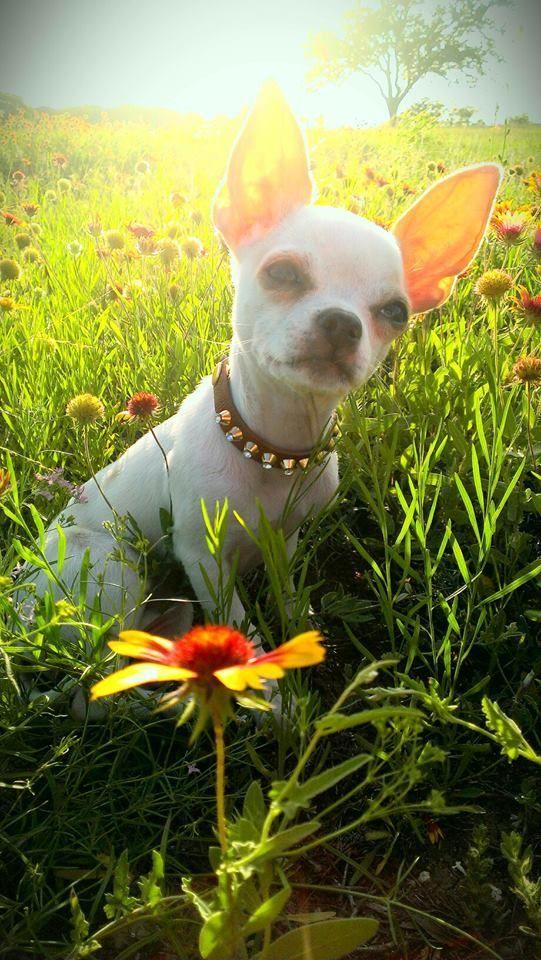#chihuahua #dog #daisy                                                                                                                                                                                 More