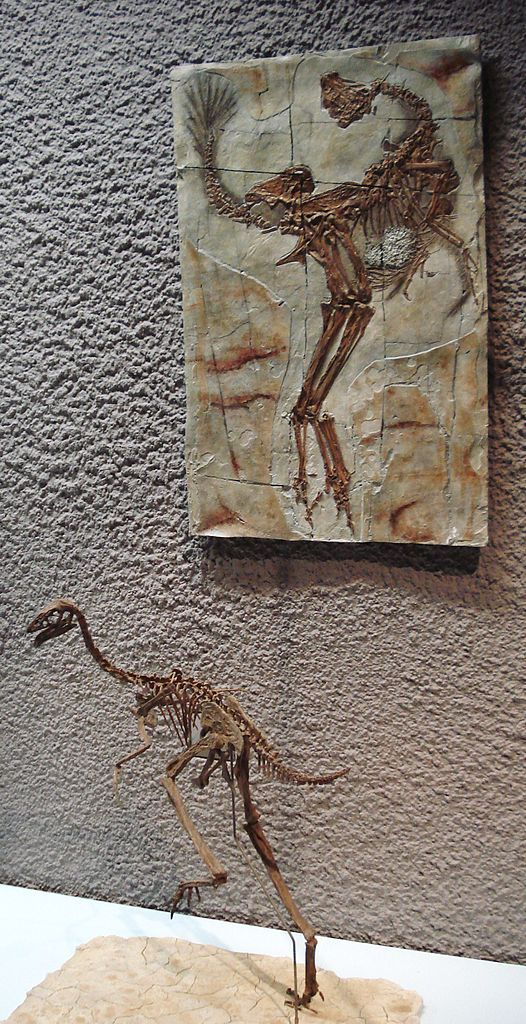 Reconstruction et calque dans le cadre de Caudipteryx zoui, Staatliches Museum für Naturkunde Stuttgart. Dinosauria, Theropoda, Oviraptorosauria, Caudipteridae. Auteur : Ghedo, 2010.