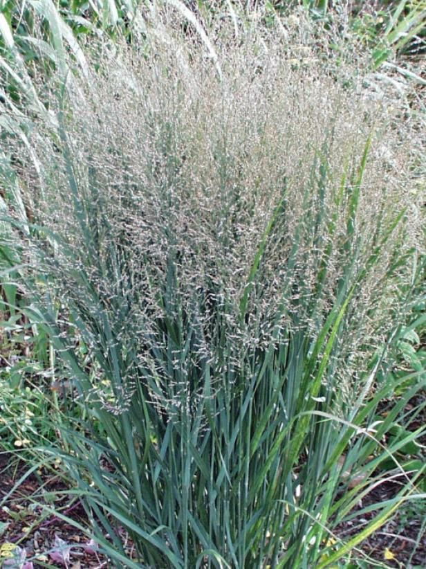 56 best grass images on pinterest fountain grass for Ornamental grasses for front yard