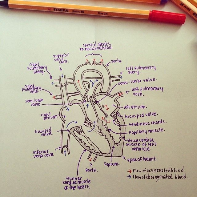 The heart notes    diagram      Anatomy   Nursing    students