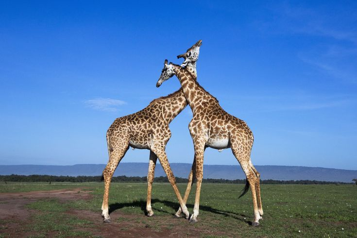 """How Much Do You Know About Giraffes?: Giraffes Are Accomplished """"Neckers"""""""