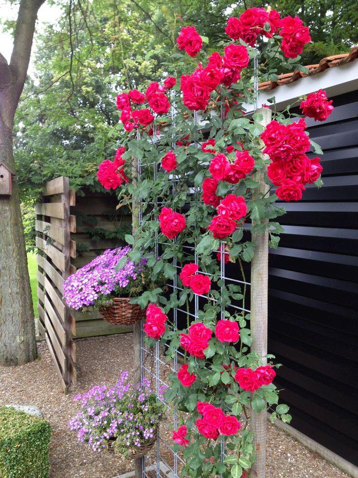 Garden - red roses