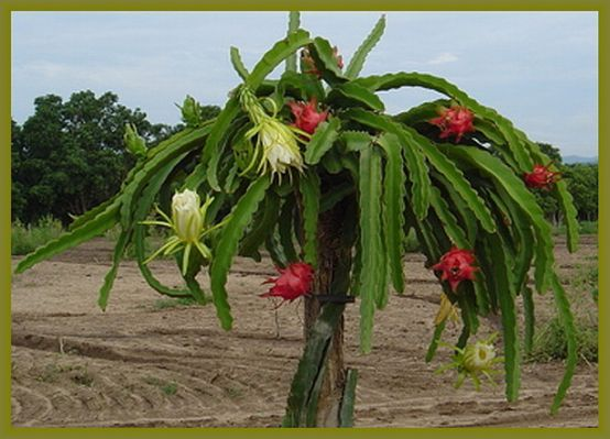 how to grow dragon fruit plant