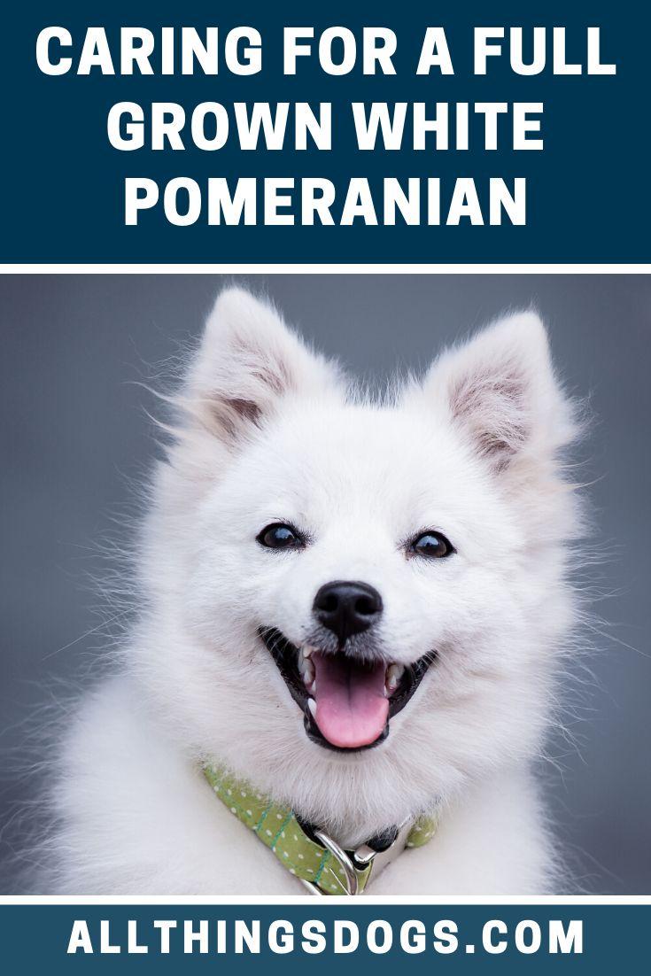 Full grown white pomeranian in 2020 white pomeranian