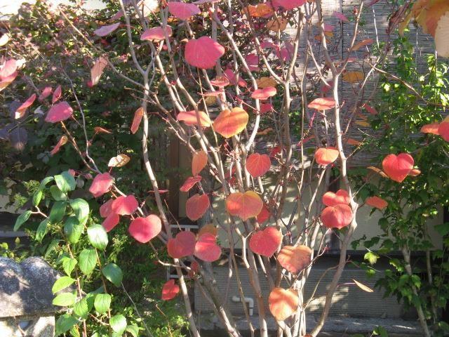 11月18日の誕生日の木は紅葉が美しい「マルバノキ(丸葉の木)」です。 マンサク科マルバノキ属の落葉低木で、日本固有種の植物です。山地で見られますが、自生地は長野、滋賀、岡山、広島、高知県の5県のみとされています。しかもその県のごく限られた地域のみに分布するそうです。環境省レッドリストには登録されていませんが、岡山県と高知県のレッドデータブックでは、絶滅危惧Ⅰ類とされています。 マルバノキ属の植物は極めて種類が少なく、日本のマルバノキの他には、中国に1亜種(subsp. longipes)が知られているだけです。 樹高は1m~3m。葉は楕円形ないし円形のハート型で、先端は短く尖っています。葉の縁にギザギザはなく、5本から7本の手のひら状の葉脈があります。