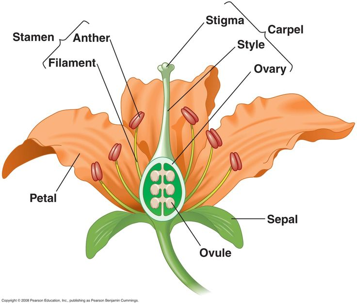 Study of the parts of a flower, for teaching science/biology. Teachers may find a lily like this especially helpful for the size and clear definition of the parts, as well as for often having many stages of the bloom on one stem.