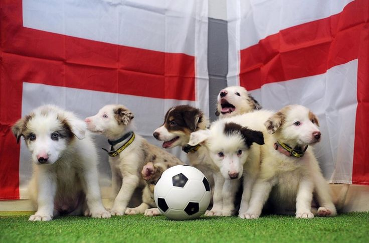 Staff at Dogs Trust Leeds are getting behind the England team by naming their own adorable team of 8 puppies after players in the England Squad.The 8 week old Collie pups are looking to win their perfect match in loving homes.Staff have named the football loving pups,who were handed into the Rehoming Centre when their owner was no longer able to care for them; Frank Lampawd,Steven Gurrard,Phil Bones,Jordan Hounderson,Ross Barkley,Phil Wagielka,Jack Russell Wilshire and Spaniel Sturridge. <3