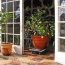 cultivar limonero