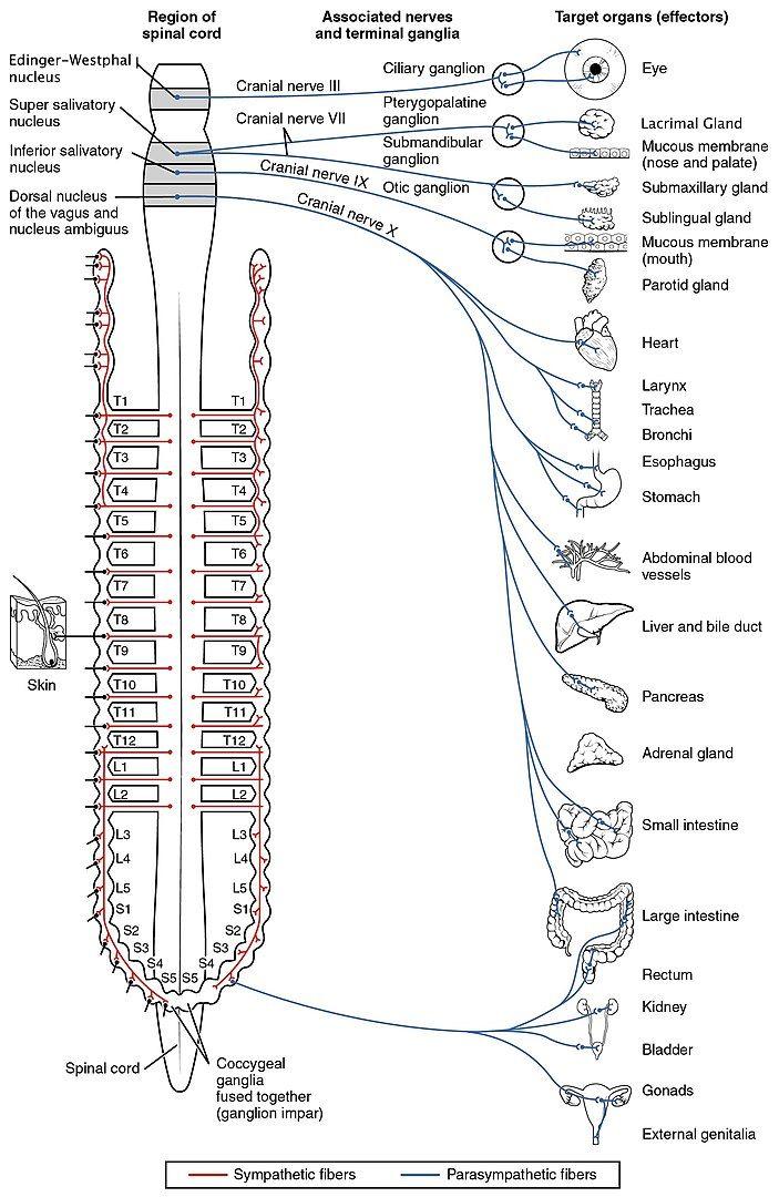 Autonomic Nervous System Pdf Ppt Download Free Nervous